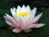 villapisaniwaterlily-blog