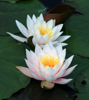 villapisaniwaterlilies-blog